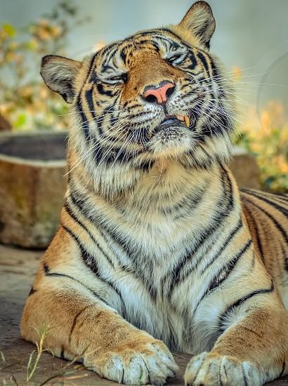 cute kitty tigerbigcatscuteanimals photo