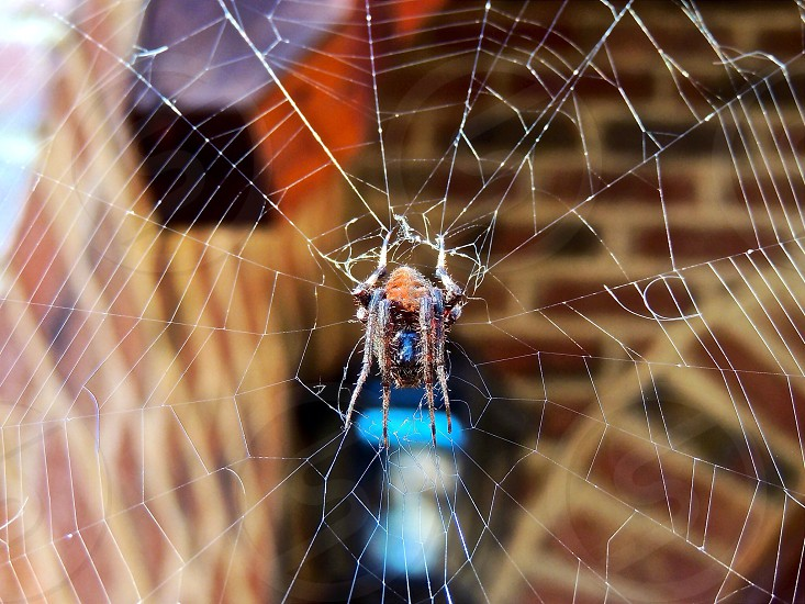 brown barn spider on web photo