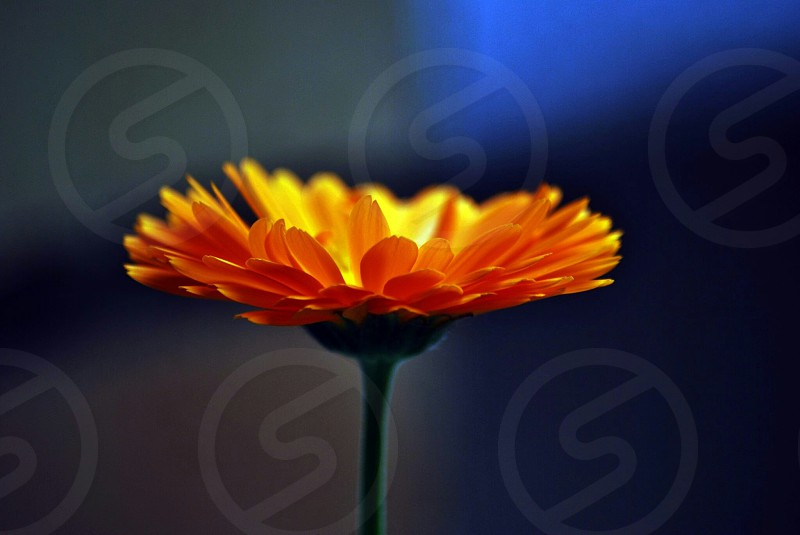 yellow flower with green steam photo
