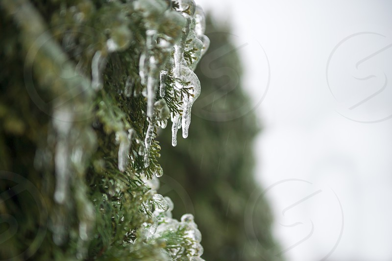 Ice Covered Cedar Tree in Winter photo