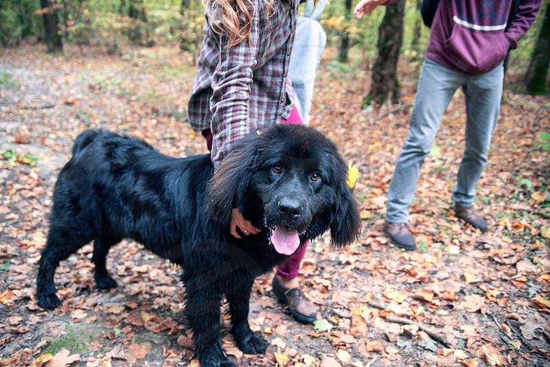 Newfoundland is playing in the forest with his master photo