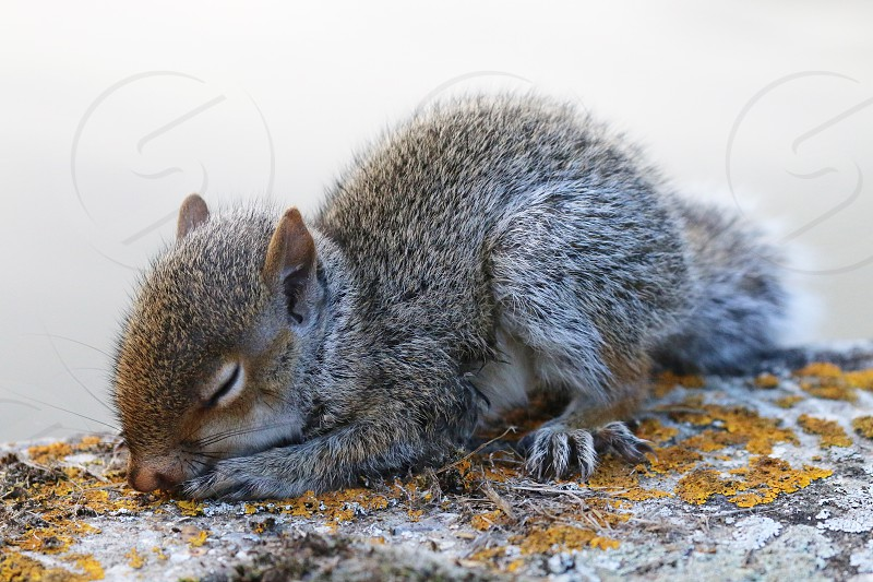 A sleeping baby squirrel photo