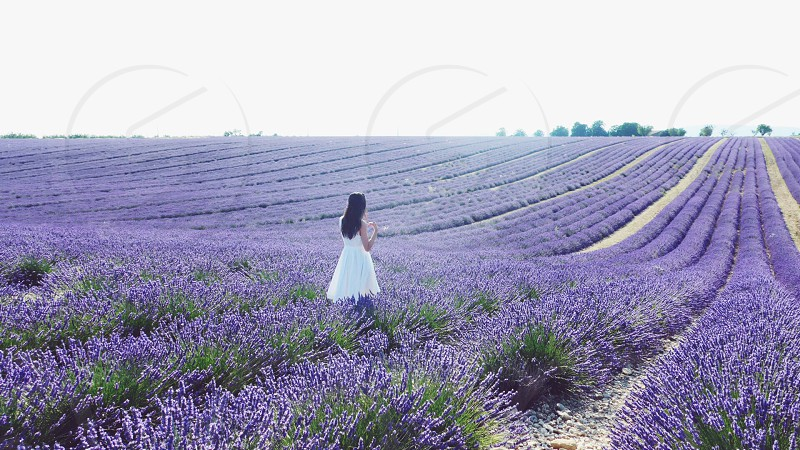 In the ocean of lavender in Valensole Provence. photo