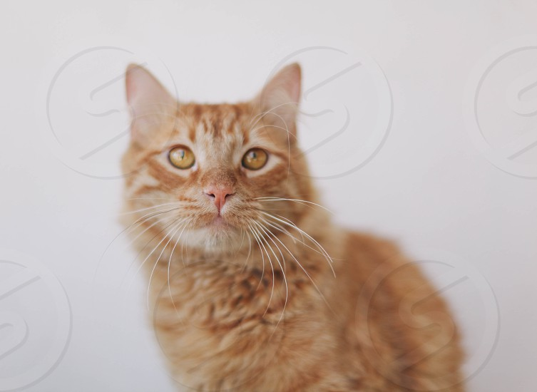 orange and white long haired cat  photo