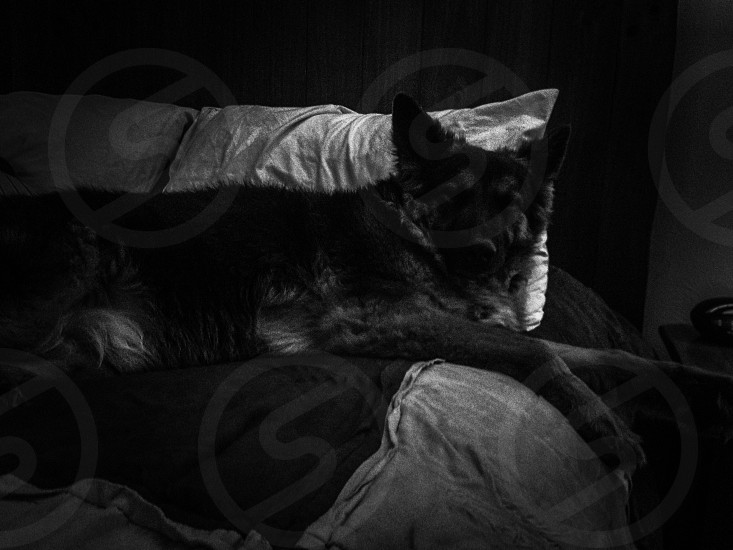 black and tan german shepherd dog photo