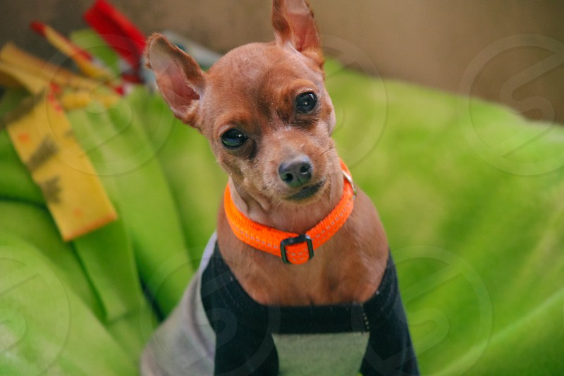 Miniature Chihuahua looking at camera with head tilted against green background. photo
