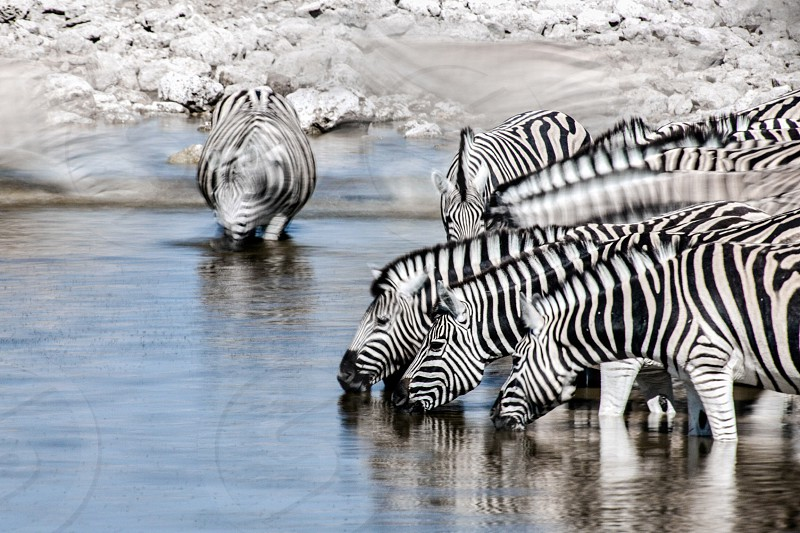 Zebras drinking with a long exposure in Namibia. photo