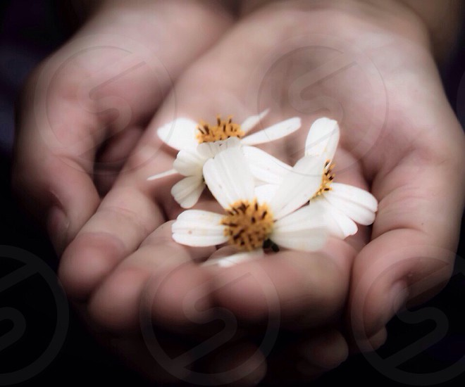 hand holding small white flowers photo