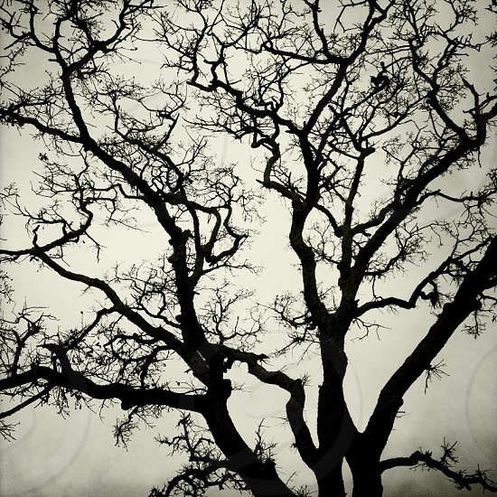 Black and white silhouette of an oak tree on a foggy morning.  photo