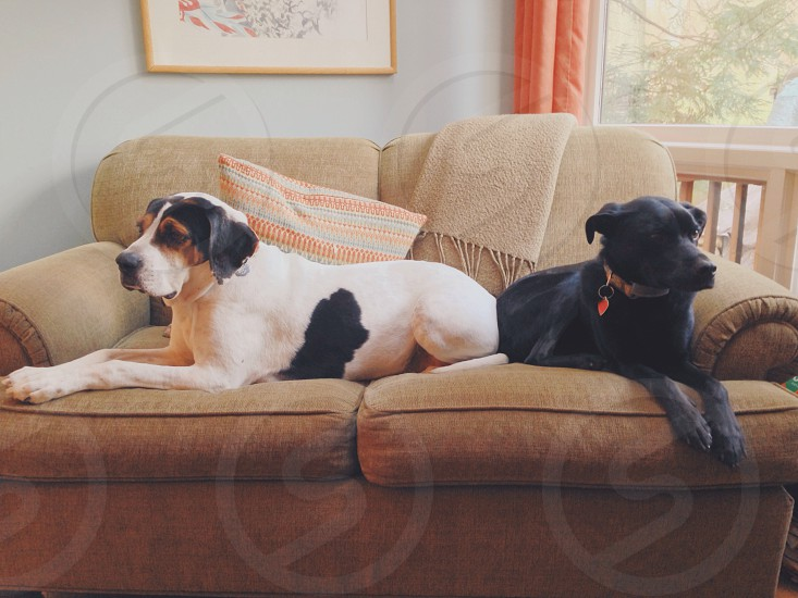 dogs on brown couch photo