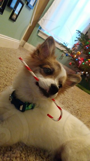 #dog #2017christmas #candycane photo