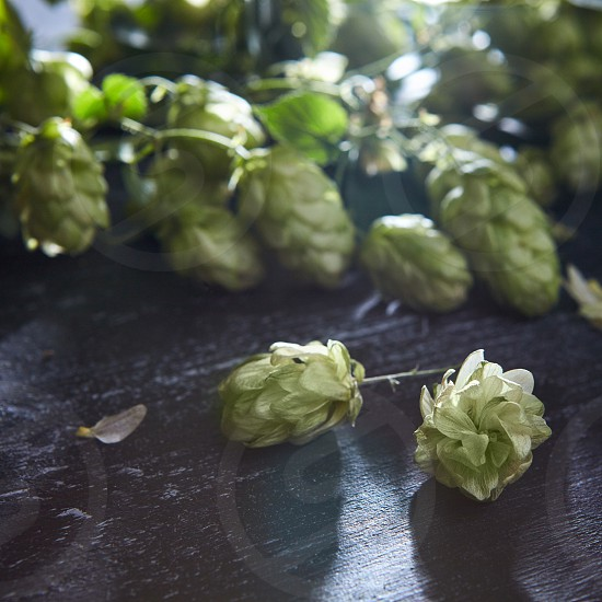 Wooden background with fresh green hop. Shallow focus . Beer production ingredient. photo