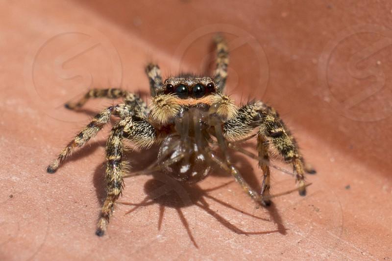 jumping spider captured brown polka dot spider photo