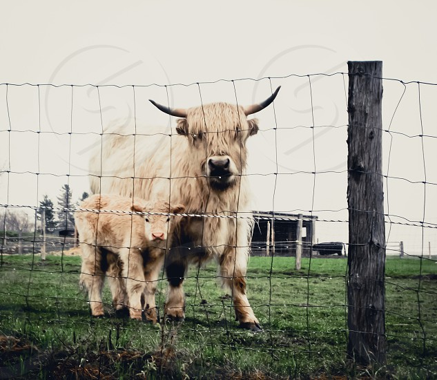 Baby bull fence farm cow horns photo