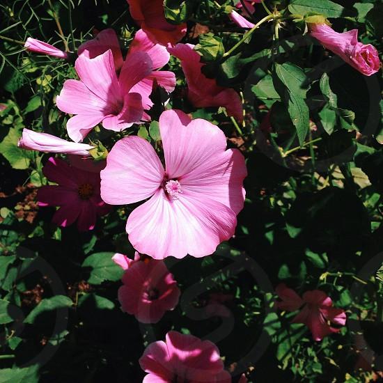 pink mandevilla flower photo