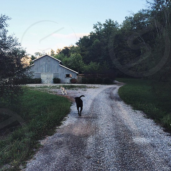 Chasing Dogs Across the Farm photo