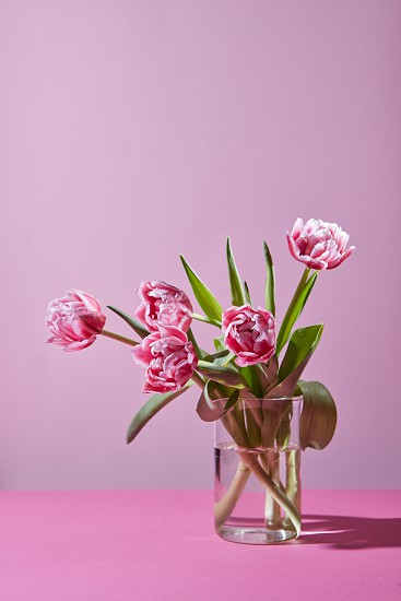 Beautiful spring pink tulips in a glass vase on a pink background with copy space. The concept of a greeting card photo
