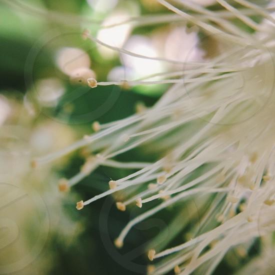 dandelion flowers photo
