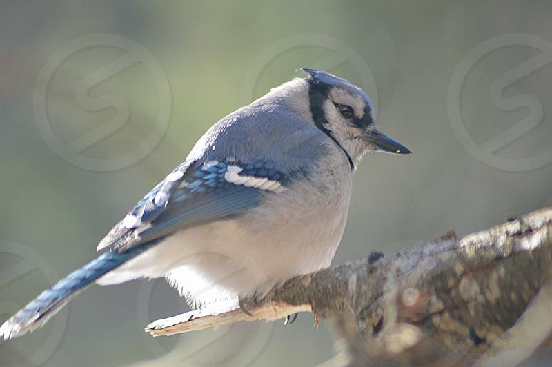 blue jay bird on a tree branch photo