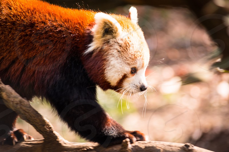 Red panda animal Asian cute furry fluffy whiskers  photo