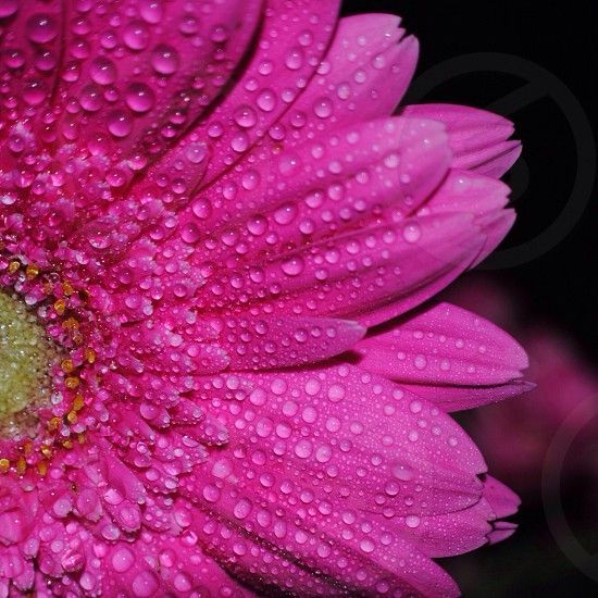 dew on purple daisy in close up photography photo