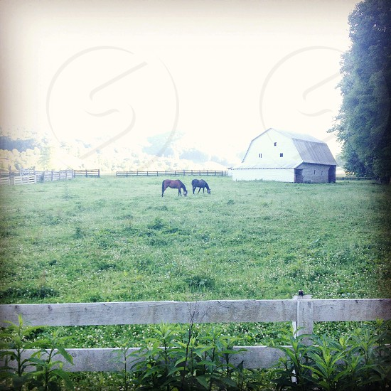 White barn and horses.  photo