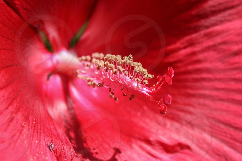 macro photo of stamen of hibiscus photo