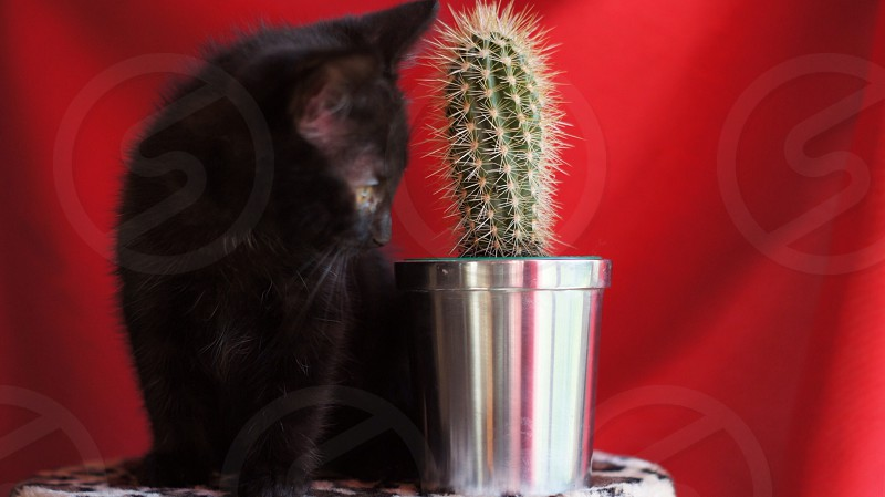 black kitten staring at the green cactus plant photo