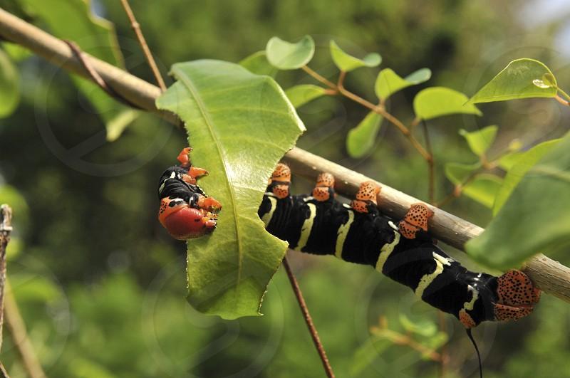 Caterpillar Hornworm moth photo