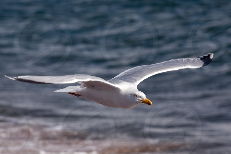 Common Gull (Larus canus) at Chanonry Point in Scotland photo