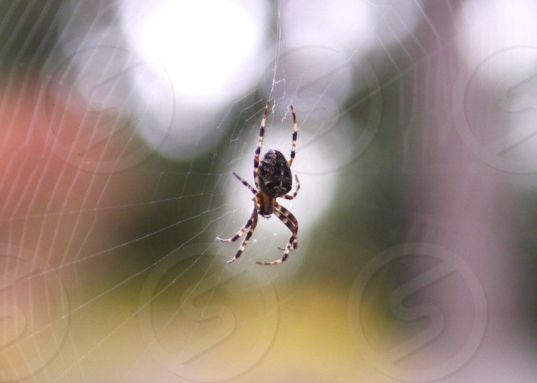 Spider from my backyard photo