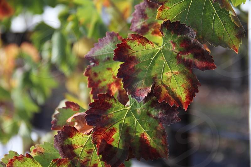 grape leaf grape vine grapes grape harvest wine autumn red brown green  photo