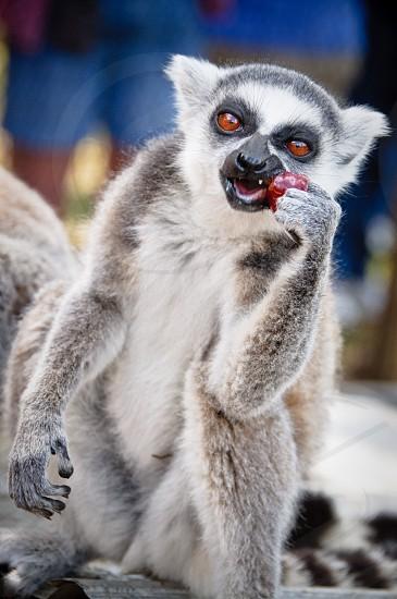 white and grey monkey photo