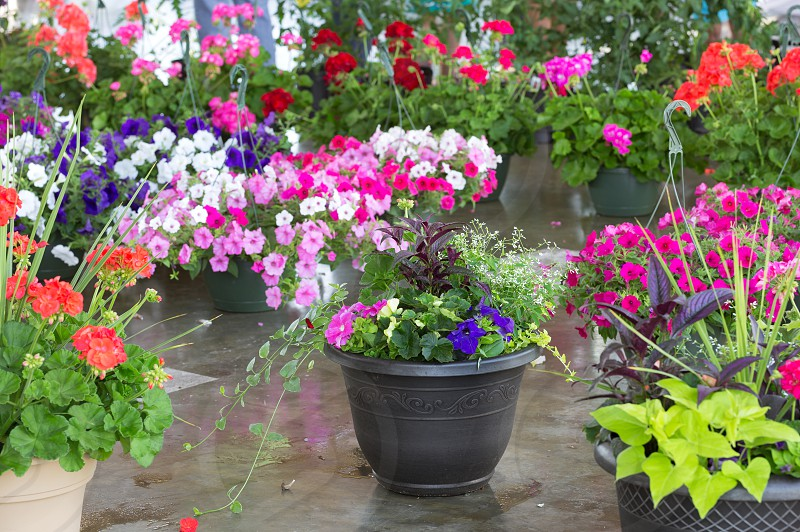 Variety of potted annuals for sale at a local farmer's market photo
