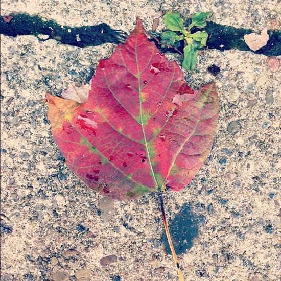 Red Leaf on Sidewalk  photo