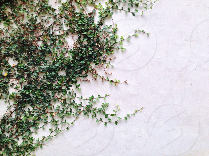 A light colored cement wall covered in green leafy vines. Lots of white space for type or graphics. photo