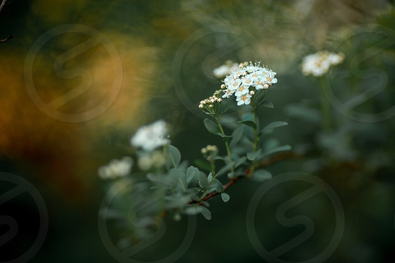Nature summer branch spirea flowers photo
