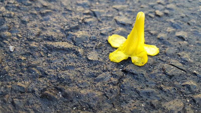 yellow flower asphalt photo
