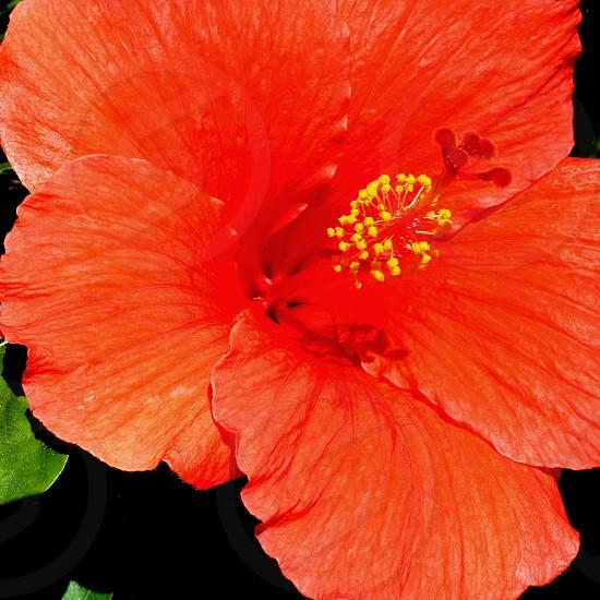 Close-up of an orange hibiscus photo
