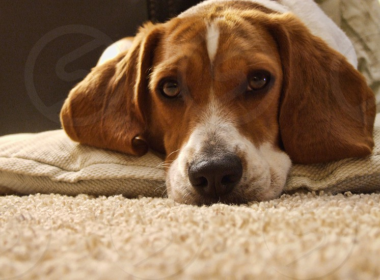 Shot at eye level a beagle dog lies on its pillow photo