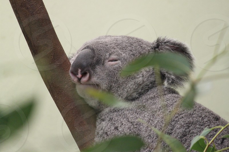 Koala nature Australia sleeping photo