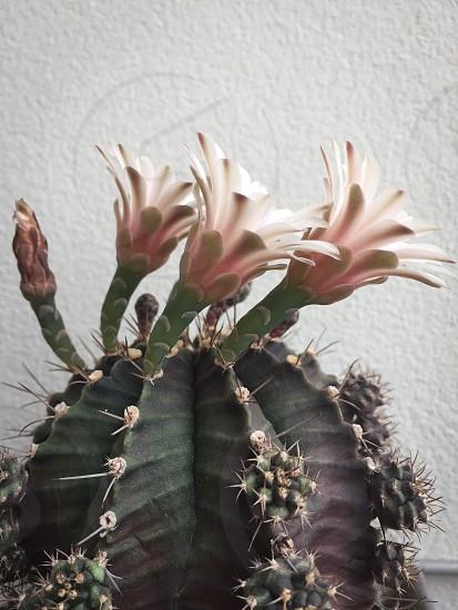 #cactus #flowers  photo