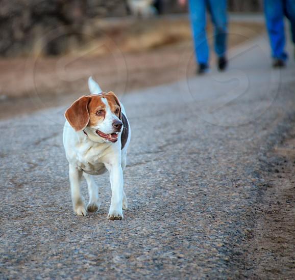 Beagle Beagle taking walk with owners dog beagle hunting dog small dog photo