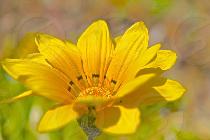 yellow flower with long petals and orange pollen in shallow photography photo