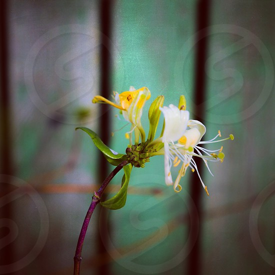 Honeysuckle honeysuckles flower flowering flowers bloom blooming flora floral botanic botanical turquoise  nature natures flourish  photo