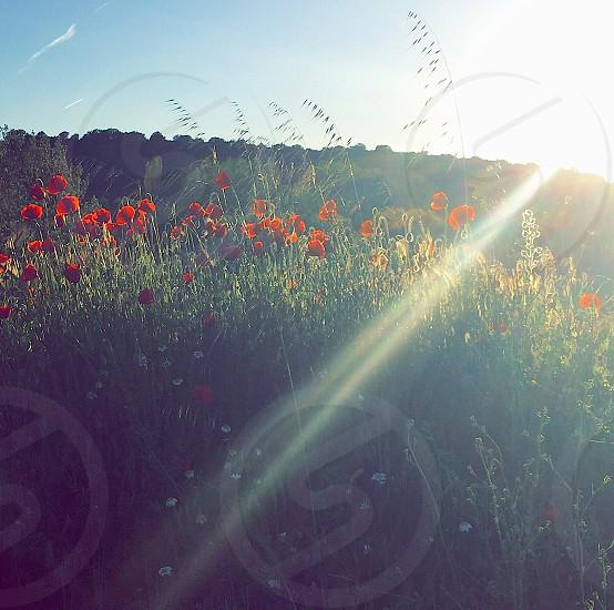 Sunny poppy field. photo