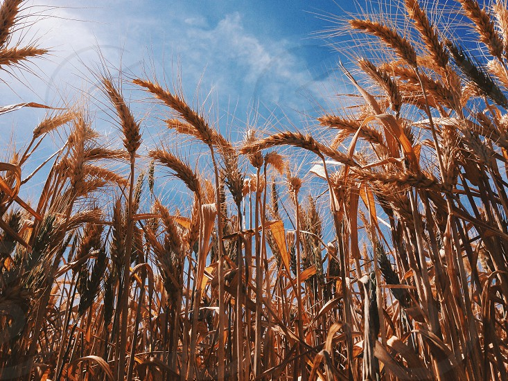gold wheat stalks underneath blue skies photo