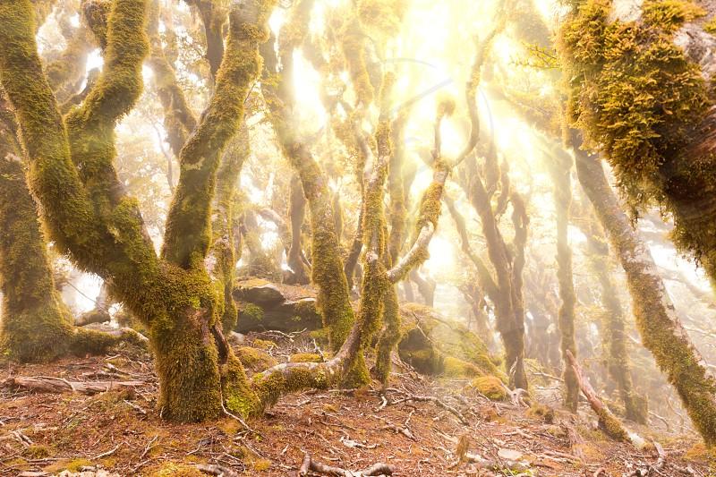 Morning sun rays breaking through mists in virgin mountain rainforest wilderness of Marlborough New Zealand photo