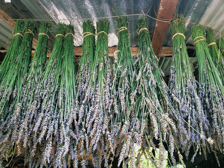 Lavender bunches hanging upside downlavendula photo