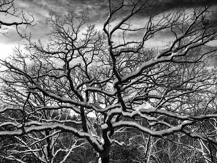 Black and white snowy oak tree. photo